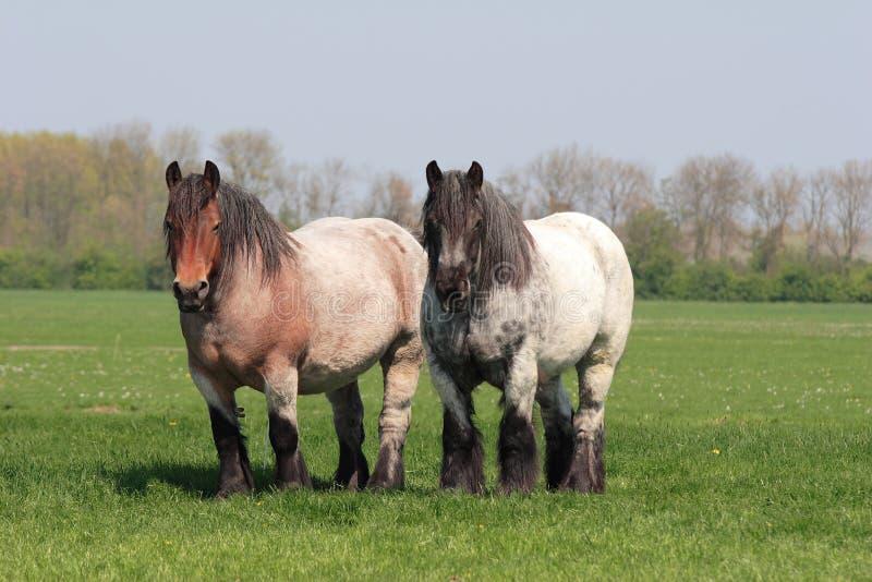 Belgian horses stock photos