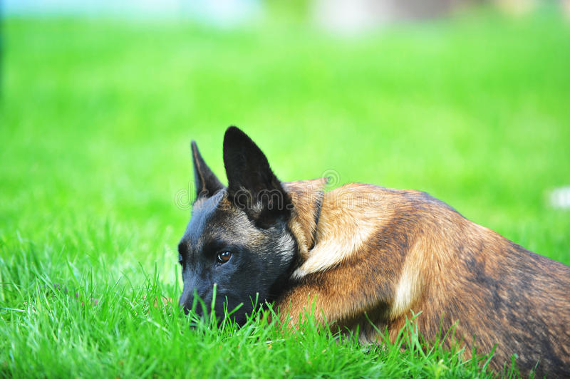 Download Belgian malinois stock photo. Image of culture, security - 25553750