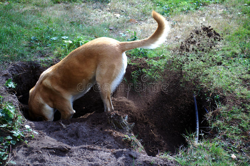 Belgian Malinois dog digging a hole stock image