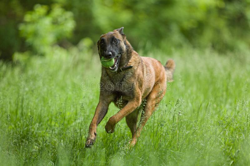 Belgian Malinois dog playing and training outside stock images