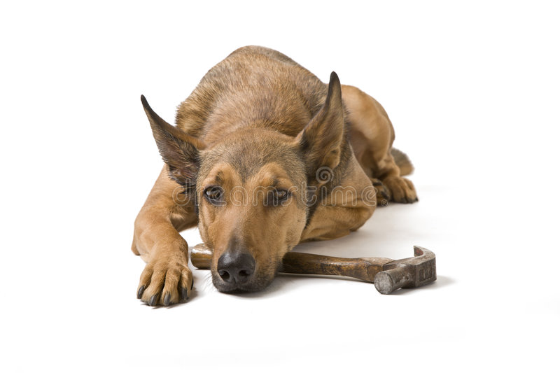 Download Belgian Malinois With Hammer Stock Image - Image: 4238823