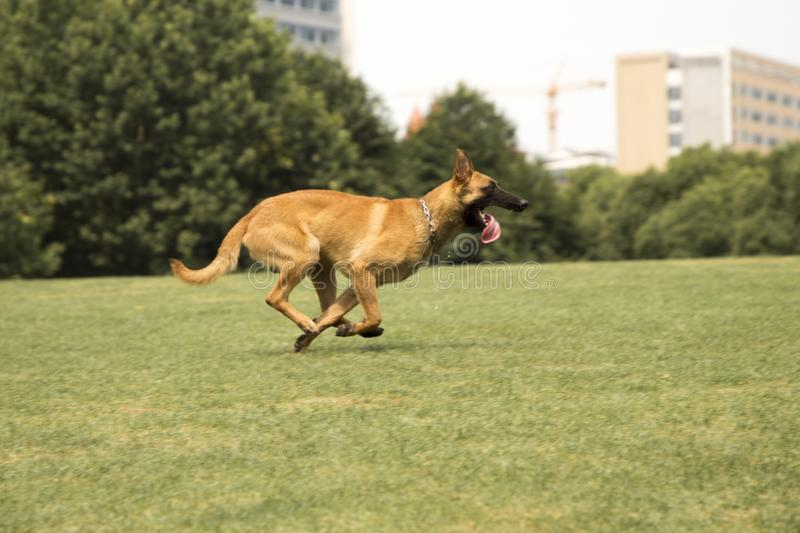 Belgian Malinois. The horse dog is one of the four short hairs of Belgium Belgian dog and Belgian shepherd dog. It is a famous ancient variety. It has been stock image