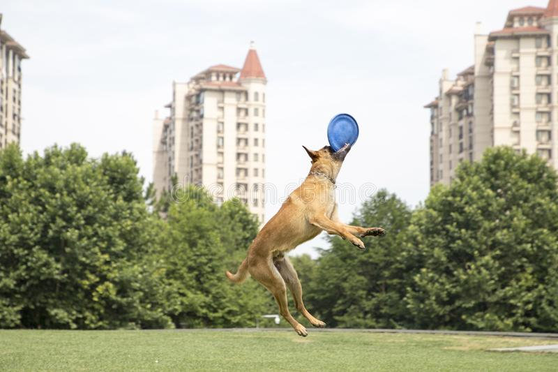 Belgian Malinois. The horse dog is one of the four short hairs of Belgium Belgian dog and Belgian shepherd dog. It is a famous ancient variety. It has been stock photography