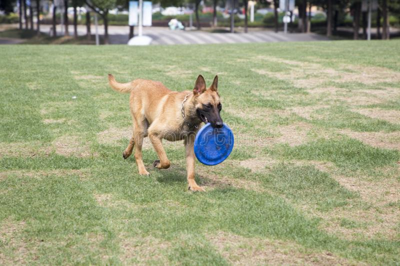 Belgian Malinois. The horse dog is one of the four short hairs of Belgium Belgian dog and Belgian shepherd dog. It is a famous ancient variety. It has been stock photos
