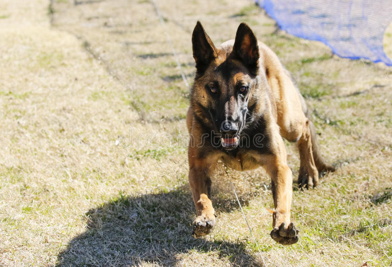 Belgian Malinois on the lure course royalty free stock photography