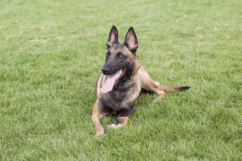 Belgian Malinois. It is a Belgian Malinois, Malinu a dog, only a short haired Belgian Shepherd four types, is the famous ancient varieties. Because of its good stock images