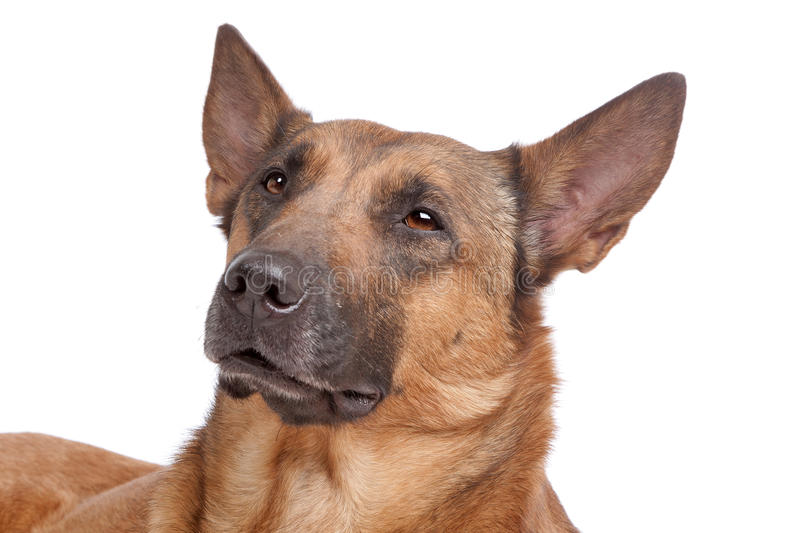 Download Belgian Shepherd stock photo. Image of background, pedigreed - 20676606