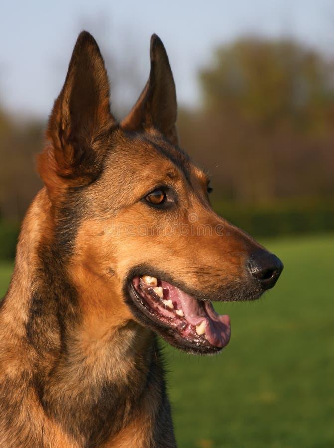 Belgian shepherd stock images