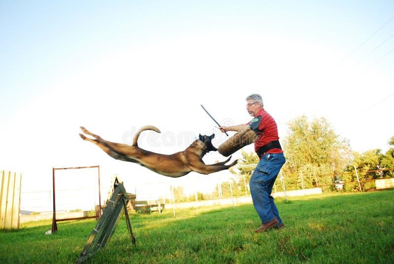 Download Belgian shepherd attack stock photo. Image of companion - 14957194