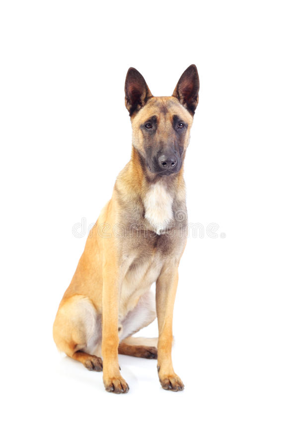 Belgian shepherd dog. Isolated on white background royalty free stock photography