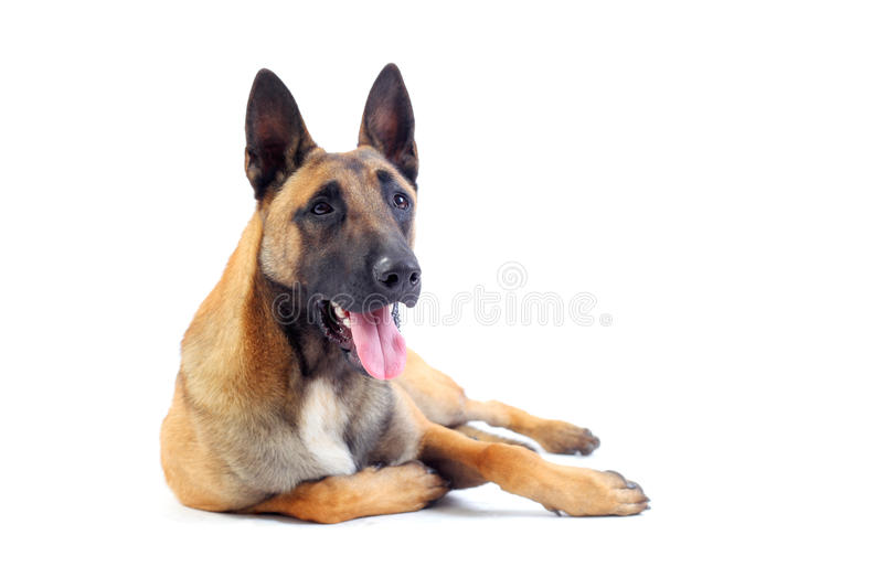 Belgian shepherd dog. Isolated on white background stock photography