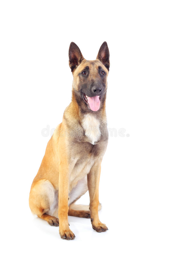 Belgian shepherd dog. Isolated on white background royalty free stock photos