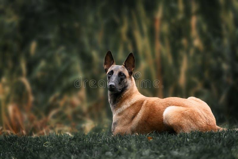Belgian Shepherd dog. Malinois dog at autumn park royalty free stock photo