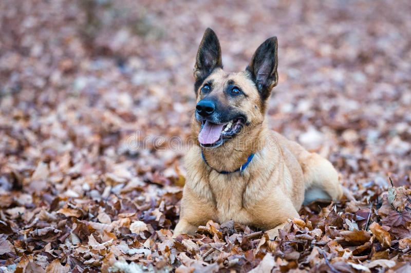 Belgian Shepherd Dog. In a Forest during Autumn stock images