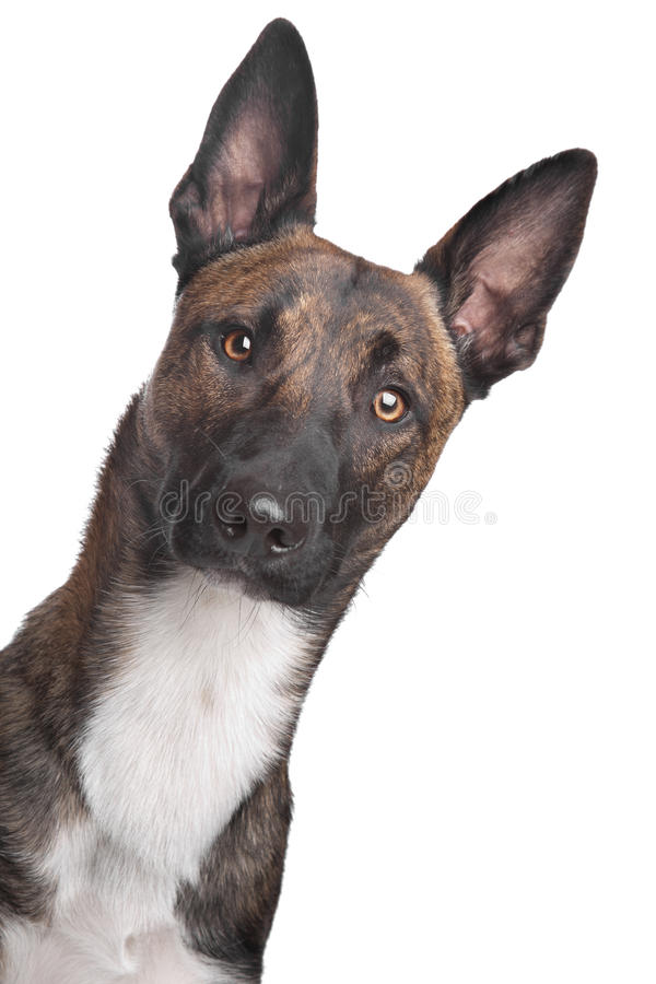 Belgian Shepherd Dog Malinois. In front of a white background stock photos