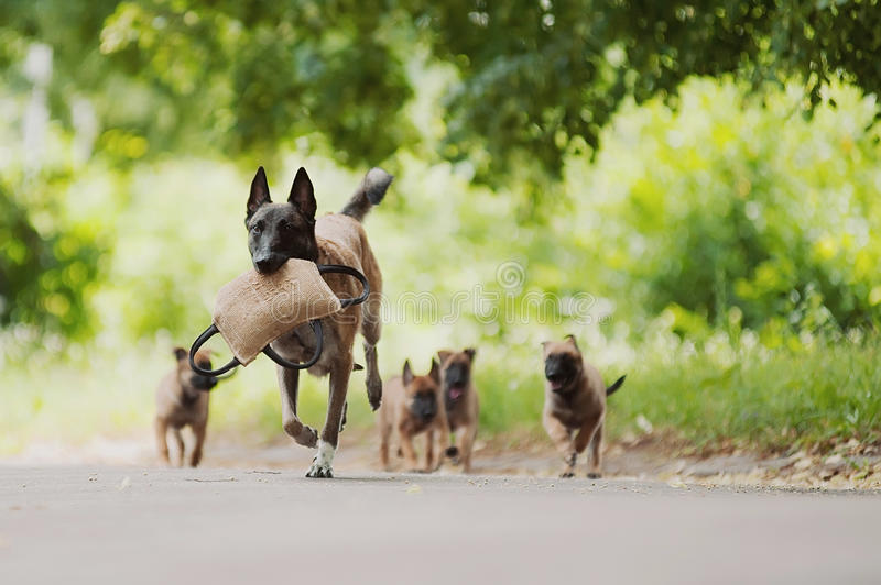 Belgian Shepherd Dog ( Malinois ). Beautiful brown Belgian Shepherd ( Malinois royalty free stock photos