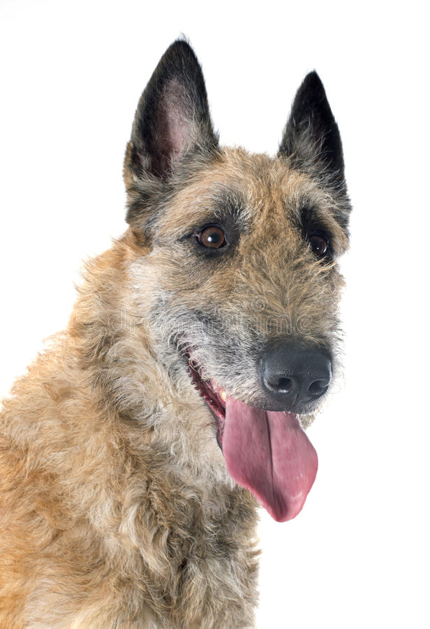 Belgian shepherd laekenois. In front of white background royalty free stock photos