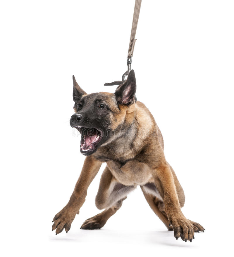 Download Belgian Shepherd Leashed And Aggressive Stock Image - Image: 27421035