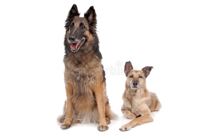 Belgian shepherd and a mixed breed dog royalty free stock images