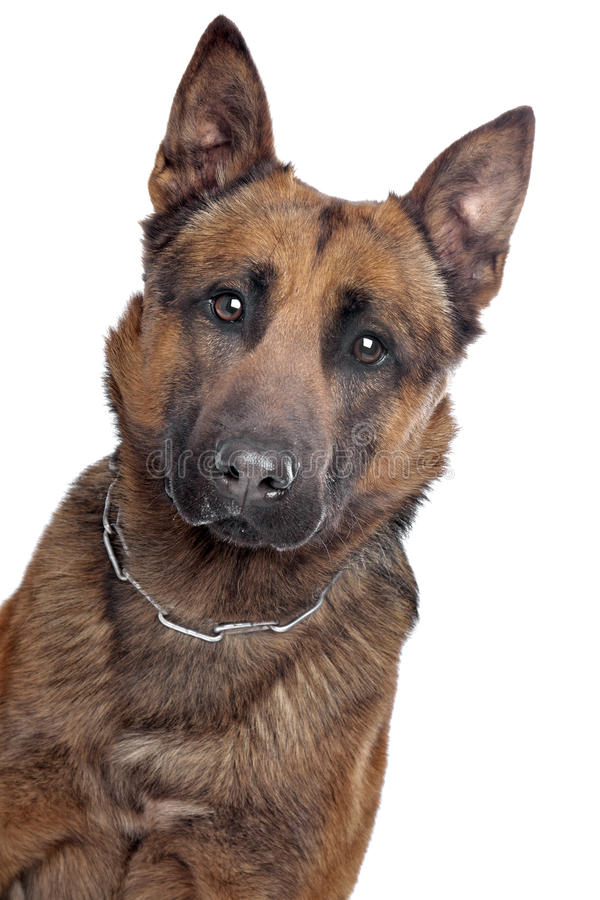 Belgian Shepherd Portrait Royalty Free Stock Image
