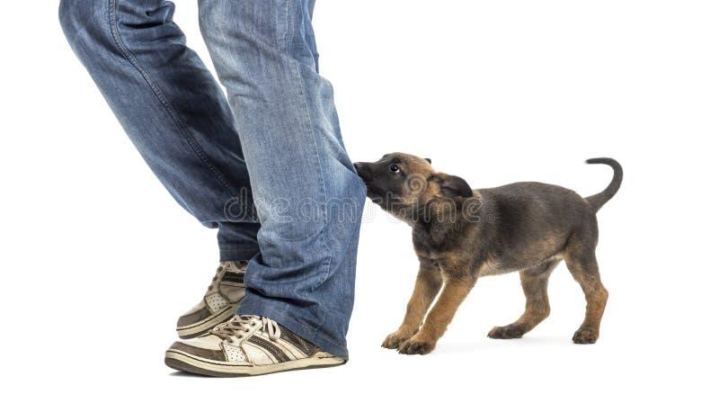 Download Belgian Shepherd Puppy Biting And Pulling Leg Stock Photo - Image: 27421006