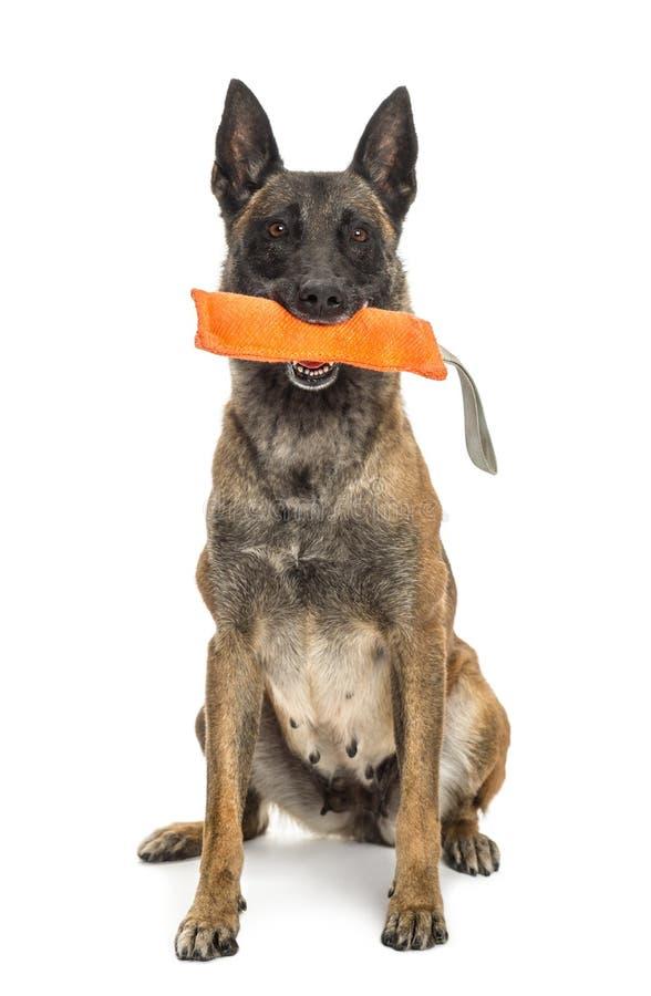 Download Belgian Shepherd Sitting And Holding Orange Toy Stock Image - Image of background, length: 27817051