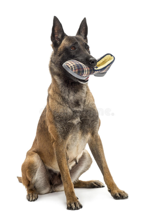 Download Belgian Shepherd Sitting And Holding A Slipper Stock Image - Image: 27421059