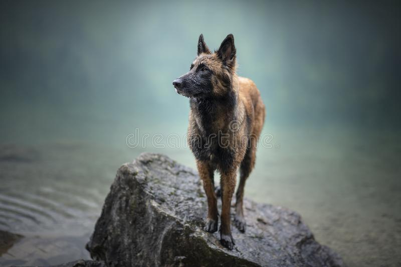 Belgian shepherd is standing in water. Dog in a mountain scenery with foggy mood. Hiking with mans best friend to lake. royalty free stock photos