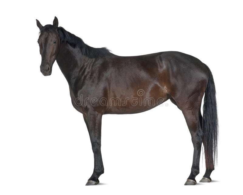 Belgian Warmblood horse, 5 years old. Portrait standing against white background stock photos