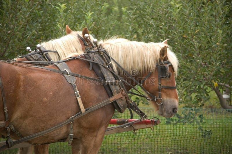 Download Belgians uczepiający się obraz stock. Obraz złożonej z konie - 33865