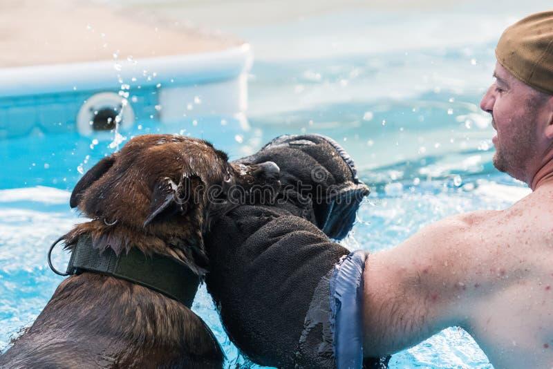 Belgier Malinois-Hund, der Bisstraining in einem Pool tut lizenzfreies stockbild