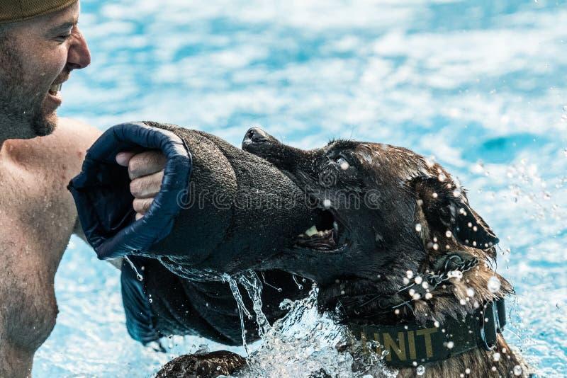 Belgier Malinois-Hund, der Bisstraining in einem Pool tut stockbild
