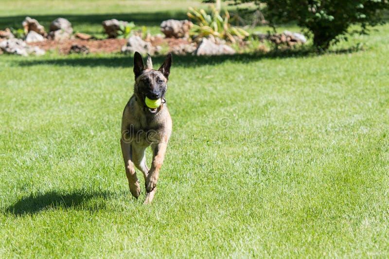 Belgier Malinois-Hund, der mit einem Ball läuft stockbilder