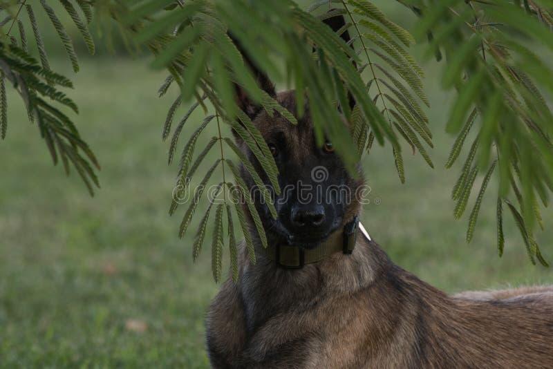 Belgier Malinois-Hund hinter Ästen stockfotografie