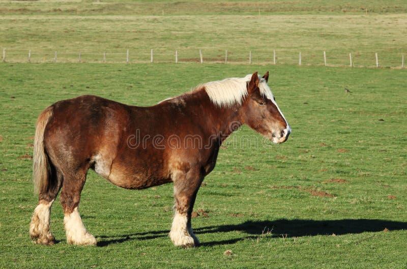 belgijski fury konia profil obraz stock