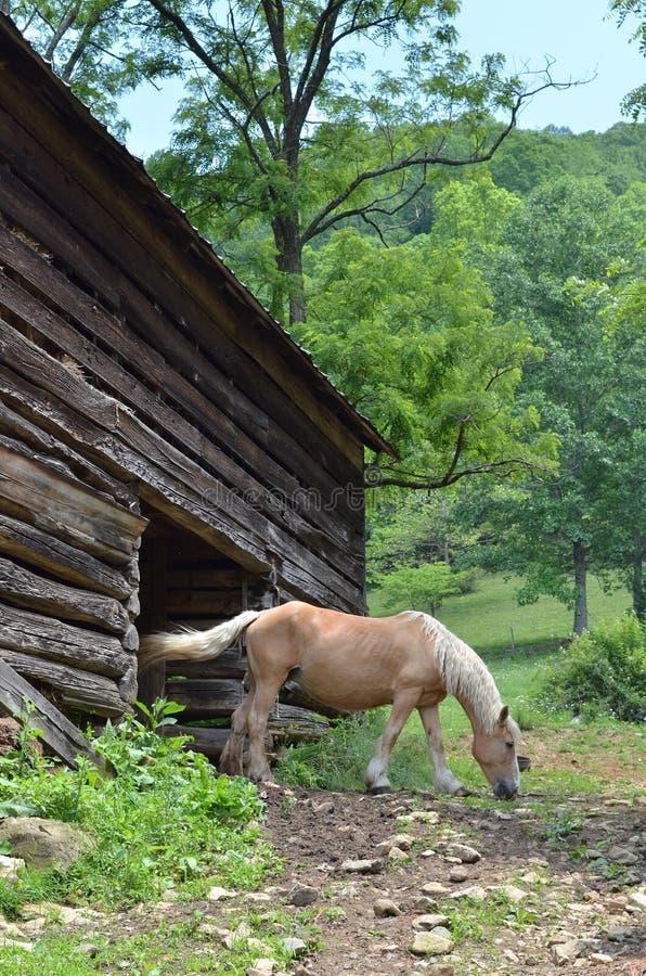 belgijski koń zdjęcia royalty free