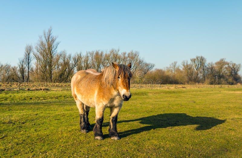 Belgijski szkicu koń i swój cień na słonecznym dniu w wintertime fotografia stock