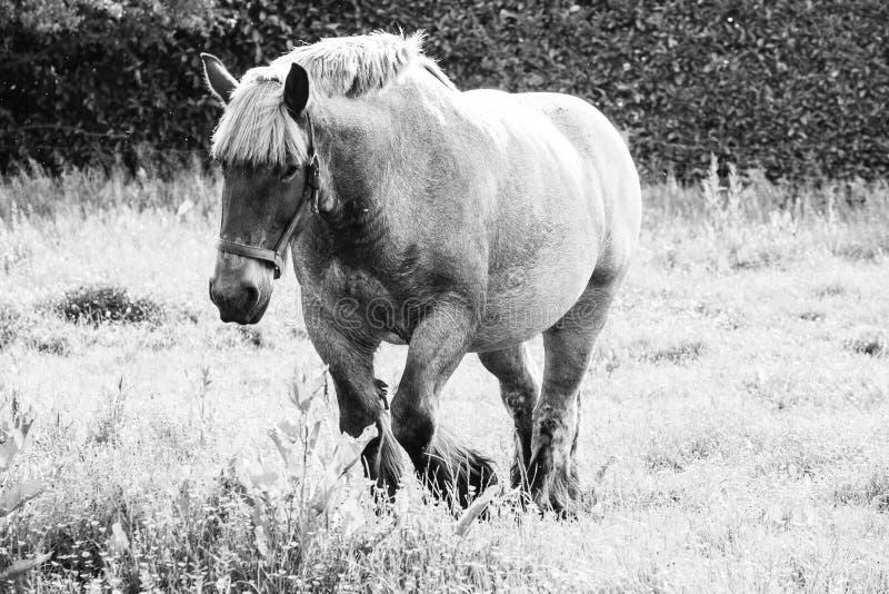 Belgijski szkicu koń w łące fotografia royalty free