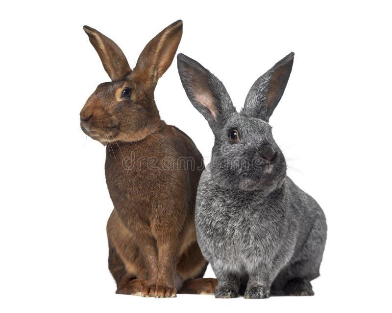 Belgijskiej zając i Argente królik obraz royalty free