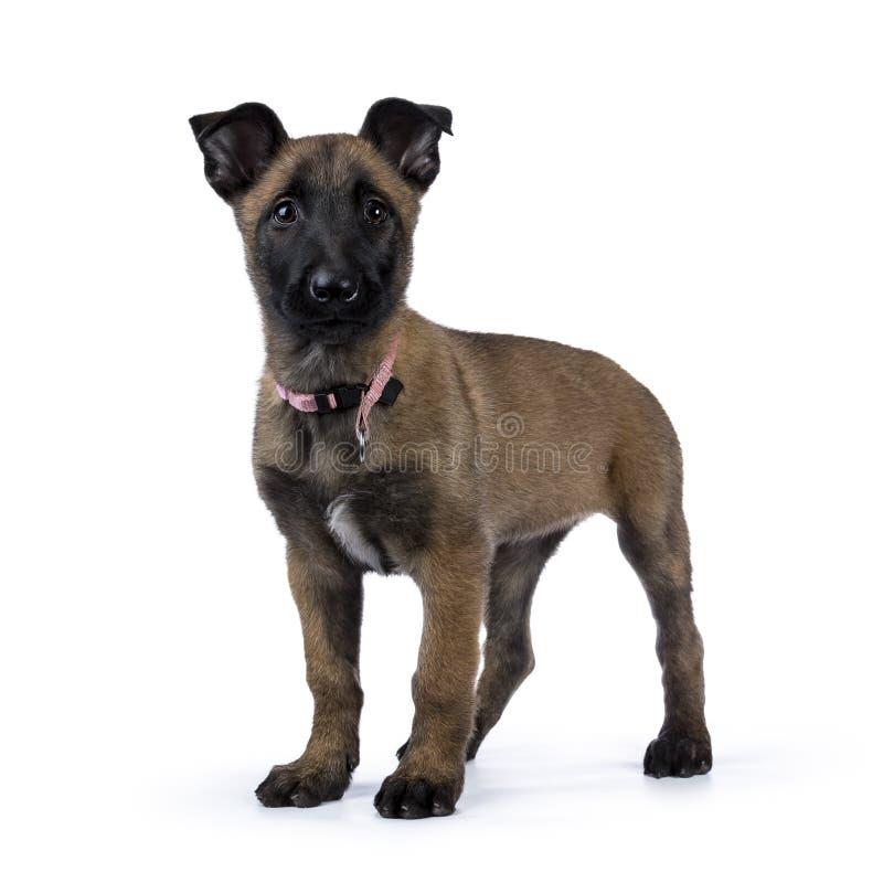 Belgisch herdershond/puppy die opstaan geïsoleerd op witte achtergrond kijken royalty-vrije stock foto's
