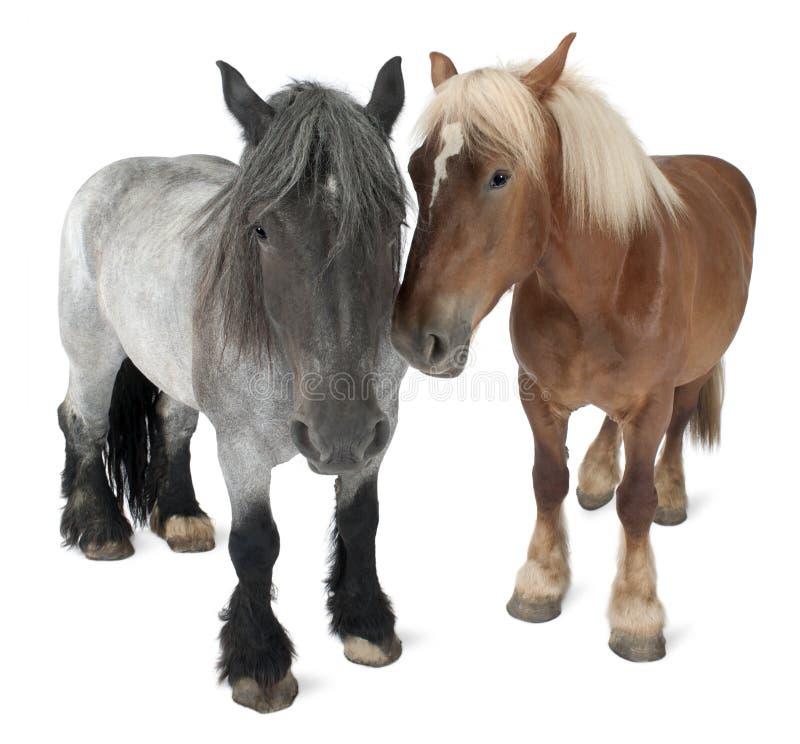 Belgisch paard, Belgisch Zwaar Paard, Brabancon royalty-vrije stock foto's