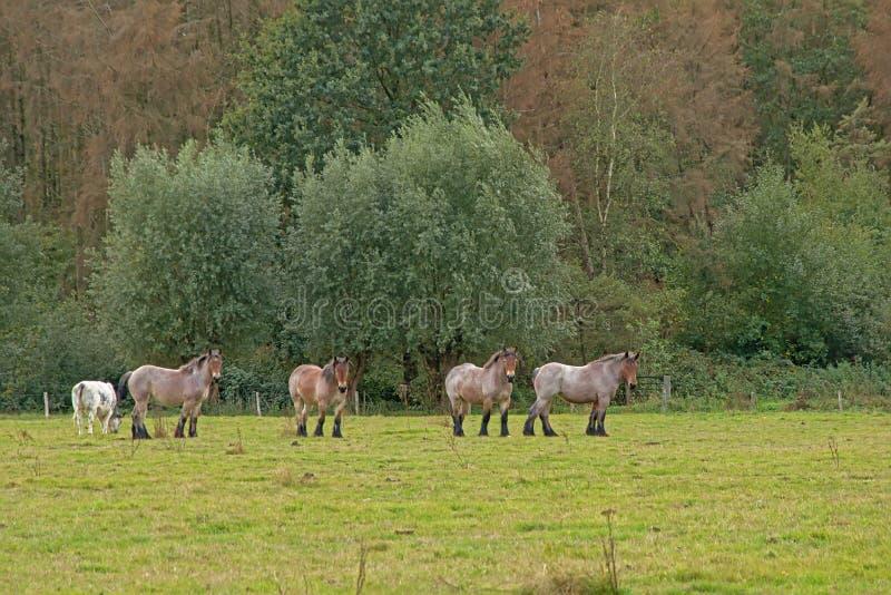 Belgische Entwurfspferde Browns, die in einer Wiese weiden lassen lizenzfreies stockbild