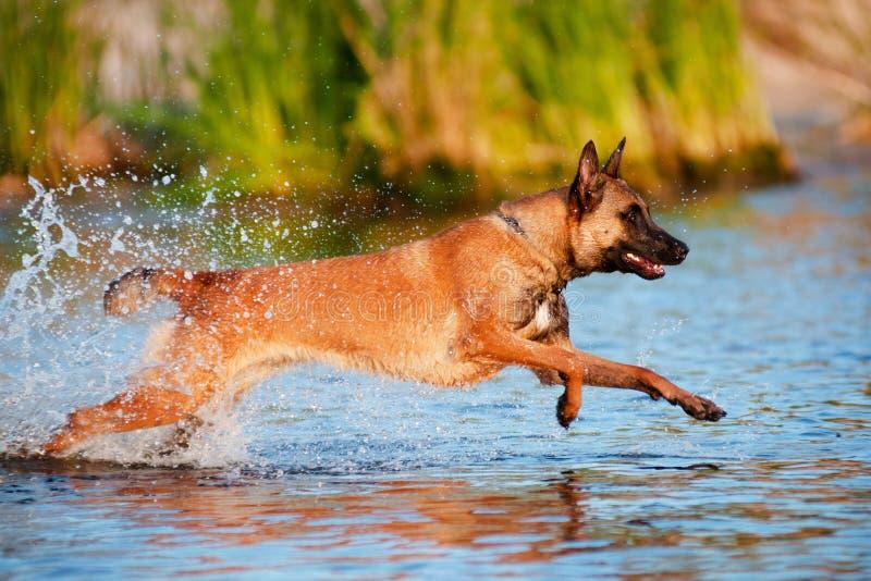 Belgische herdershond in het water royalty-vrije stock afbeeldingen