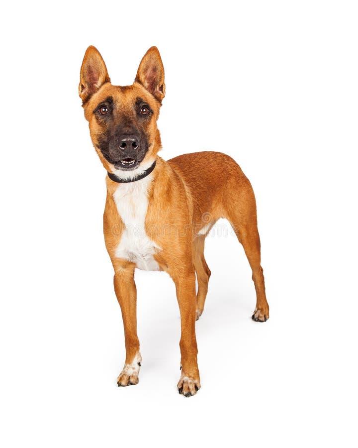 Belgische Malinois-Kruisingshond die zich over Wit bevinden royalty-vrije stock foto
