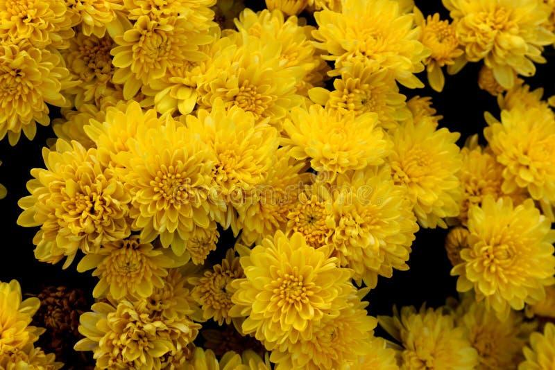 Belgische Mama Allegra Yellow, Chrysantheme morifolium ` Allegra Yellow-` stockfoto