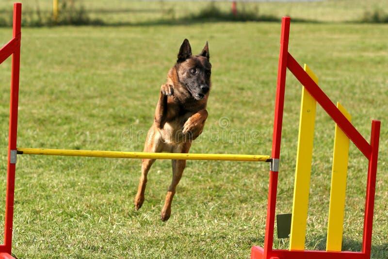 Belgischer Schäferhund, der Beweglichkeit tut lizenzfreie stockfotos