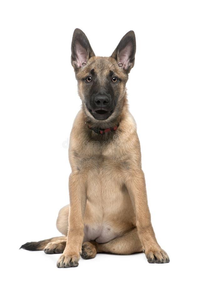 Belgischer Schäferhund-Hund lizenzfreies stockbild