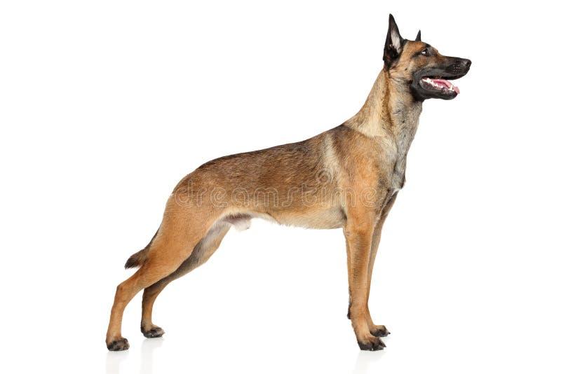 Belgischer Schäferhund-Hund Malinois stockfotografie