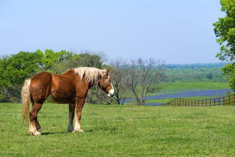 Belgisches Entwurfs-Pferd auf grüner Texas-Frühlingsweide stockfotografie