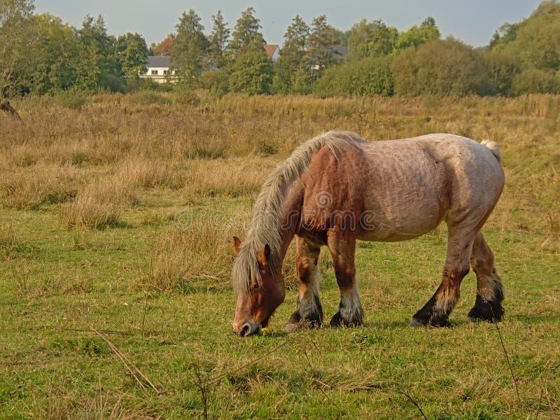 Belgisches Entwurfspferd Browns, das im Naturreservat n Bourgoyen, Gent, Belgien, - cballus weiden lässt stockfotos